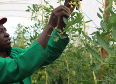 Kenya Market-led Horticulture Project