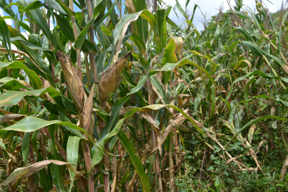 New Hivos and IIED film calls for life beyond maize in Zambia