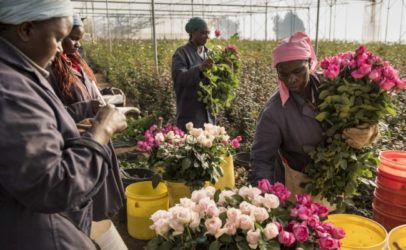 Covid-19 ravages women's jobs on horticulture farms